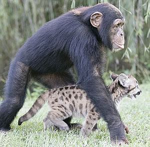 Chimp and cougar
