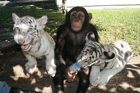 Chimp and white tigers