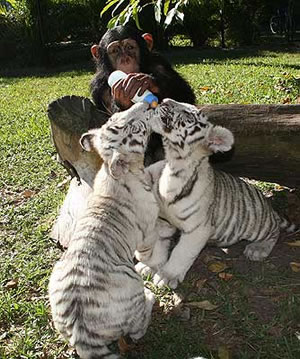 white tigers and chimpanzee