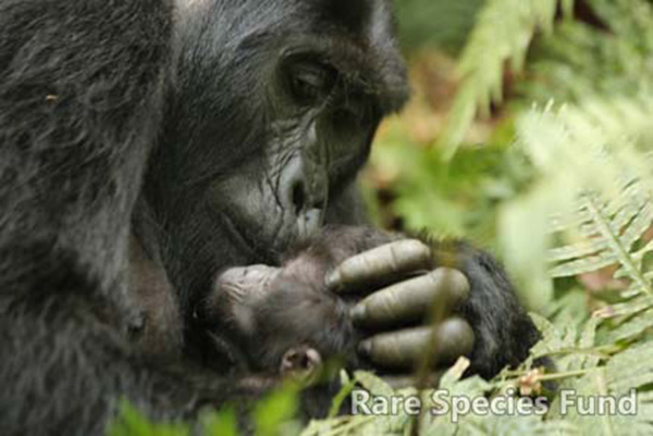 Mother gorilla cares for newborn infant in Bwindi.