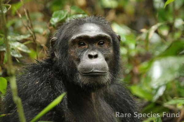 Totie is positioned to be the next alpha male in his chimpanzee family in Kibale National Park.