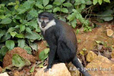 An inquisitive L'Hoest's monkey is one of 8 species of primates living in the wetland.