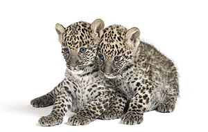 Baby Leopards at Big Cat Studio