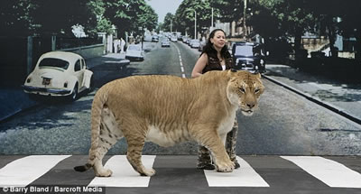 Liger crossing Abbey Road
