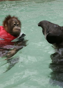 Orangutan and Tapir