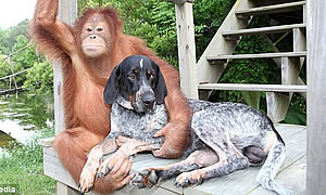 Orangutan and Dog