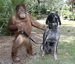 Orangutan and dog as friends