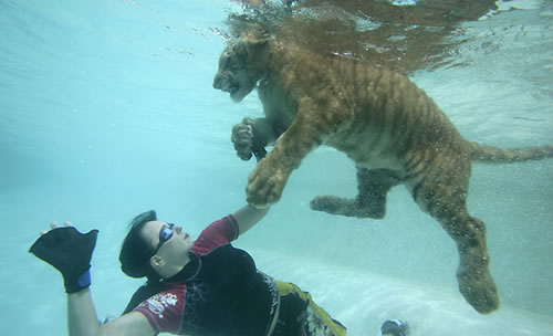 Tigers swimming