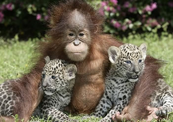Orangutan and Leopard cubs