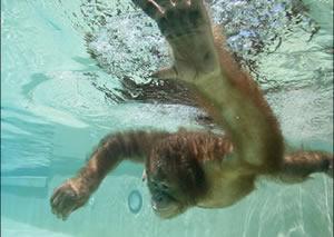 Orangutan and cubs
